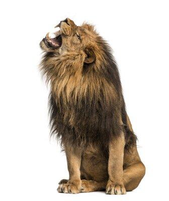 Vinilo León que ruge, sentado, Panthera Leo, 10 años de edad, aislado