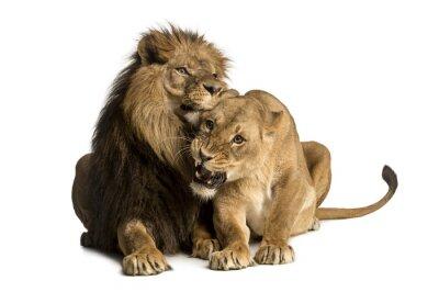 Vinilo León y leona caricias, la mentira, Panthera leo, aislado
