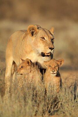 Vinilo Leona con jóvenes cachorros de león (Panthera leo) en la luz de la mañana, desierto de Kalahari, Sudáfrica.