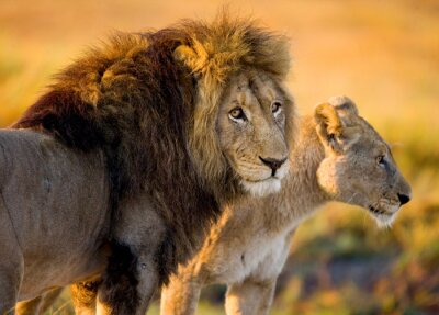 Vinilo Lion and lioness in the savannah. Zambia.