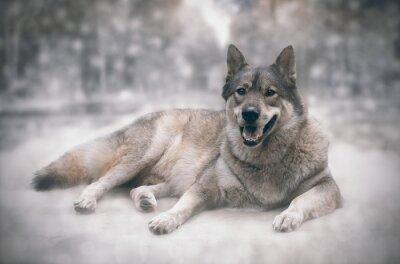 Vinilo Lobo / feliz del lobo en el fondo de la nieve.