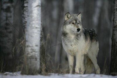 Vinilo Lobo gris, Canis lupus
