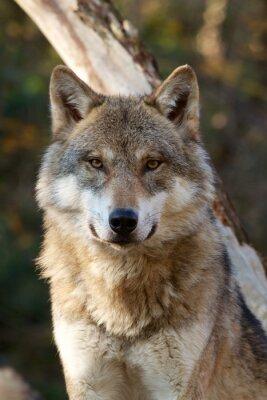 Vinilo Lobo gris - Canis lupus
