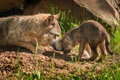 Vinilo Lobo gris (Canis lupus) Madre y perrito Touch Fuera Den