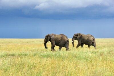 Vinilo Los elefantes africanos