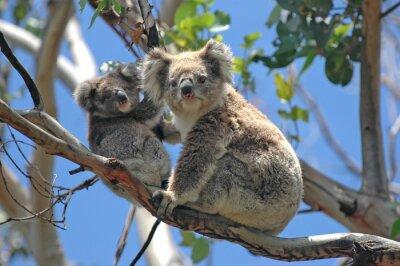 Vinilo Los koalas salvajes a lo largo de Great Ocean Road, Victoria, Australia