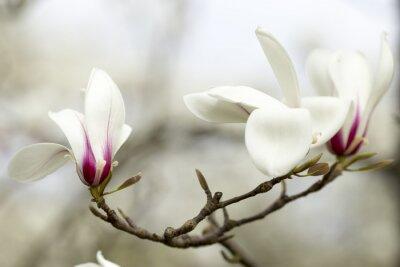 Vinilo Magnolia.