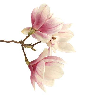 Vinilo magnolia