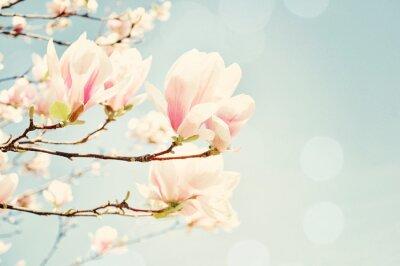 Vinilo Magnolia blossom with a sun flare. Shallow field of depth.