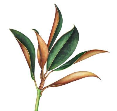 Vinilo Magnolia branch isolated on white. Hand drawn watercolor illustration.