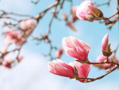 Vinilo Magnolia flor del árbol en primavera
