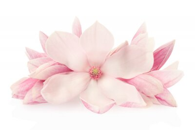 Vinilo Magnolia, flores de primavera de color rosa y brotes en blanco, camino de recortes