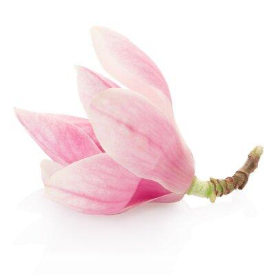 Vinilo Magnolia, rosa flor de primavera en blanco, camino de recortes