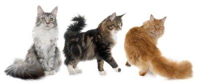 Vinilo Maine coon cats