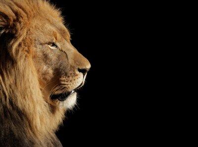 Vinilo Male African lion on black
