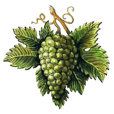 Vinilo Manojo de uvas verdes maduras, ilustración de acuarela, dibujado a mano