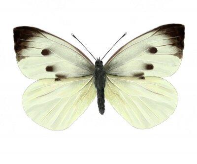 Vinilo mariposa de la col