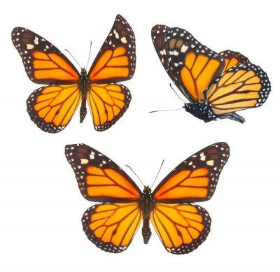 Vinilo Mariposa monarca