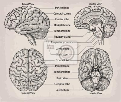 Órgano cerebral anatómico. medicina, ilustración vectorial cartel ...