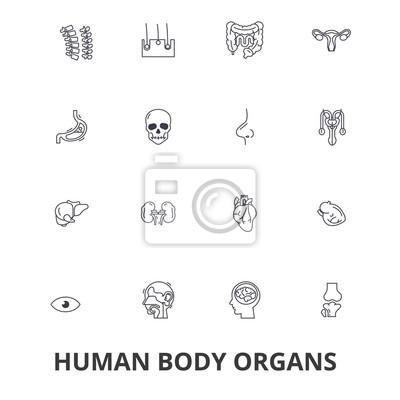 Órganos del cuerpo humano, cuerpo humano, médico, anatomía humana ...