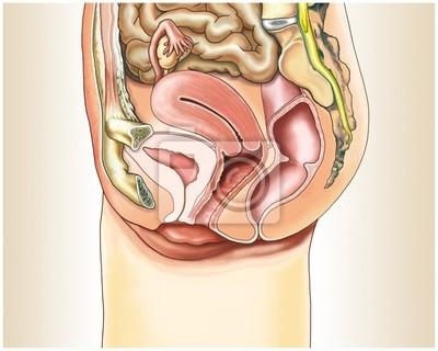 Órganos sexuales femeninos en sección transversal vinilos para ...