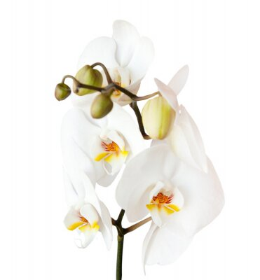 Vinilo Orquídea, aislado en fondo blanco