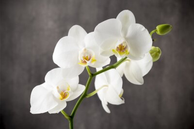 Vinilo Orquídea blanca en el fondo gris.