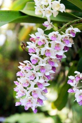 Vinilo Orquídea de Rhynchostylis.
