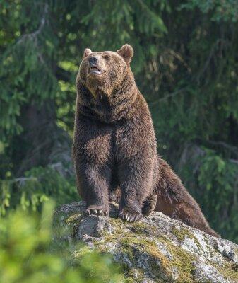 Vinilo oso pardo macho