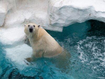 Vinilo Oso polar del norte