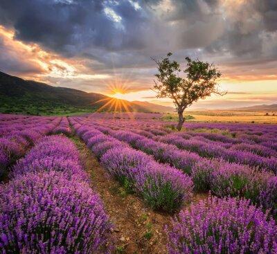 Vinilo Paisaje imponente con el campo de lavanda al amanecer