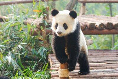 Vinilo Panda gigante curiosamente de pie, Chengdu, Szechuan, China