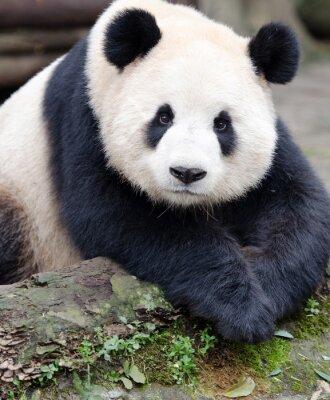 Vinilo Panda gigante posando para la cámara, Chengdu, Szechuan, China
