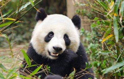 Vinilo Panda gigante que come el bambú, Chengdu, China