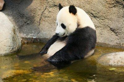 Vinilo Panda gigante que se sienta en el agua