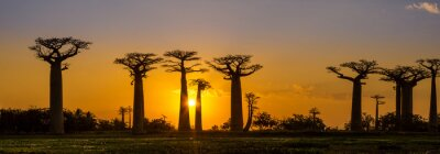 Vinilo Panorama view at sunset above Baobab avenue