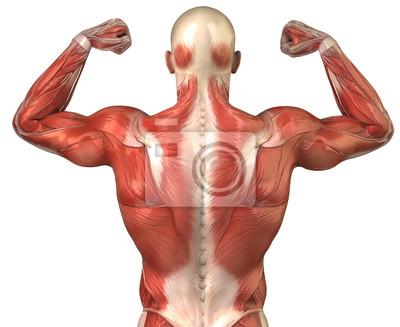Parte posterior del varón muscular de la anatomía del sistema ...