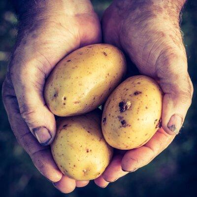 Vinilo Patatas frescas en las manos