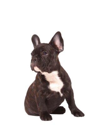 Vinilo Perrito del dogo francés (3 meses) - Imagen