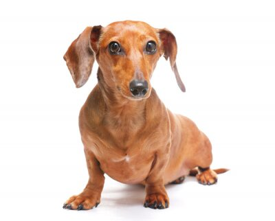 Vinilo perro dachshund