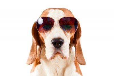 Vinilo perro del centinela en gafas de sol en blanco