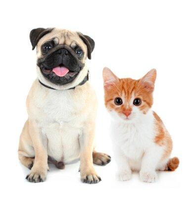 Vinilo Perro pug divertido y pequeño gatito rojo aislado en blanco