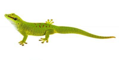 Vinilo Phelsuma madagascariensis - gecko aislado en blanco