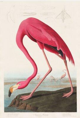 Vinilo Pink Flamingo de Birds of America (1827) por John James Audubon (1785-1851), grabado por Robert Havell (1793-1878)