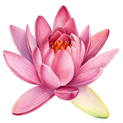 Vinilo Pink lotus flower on an isolated white background, watercolor clipart, water lily