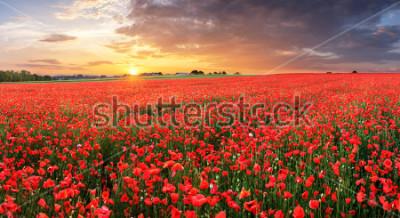 Vinilo Poppy flowers meadow and nice sunset scene