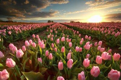 Vinilo Puesta de sol sobre el campo de tulipanes de color rosa