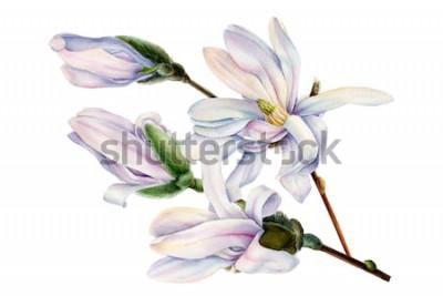 Vinilo Rama de flores de magnolia de primavera sobre un fondo blanco aislado, ilustración acuarela, pintura botánica