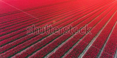 Vinilo Red tulip field Netherlands