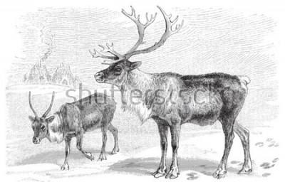 Vinilo Reindeer (Rangifer tarandus) / vintage illustration from Meyers Konversations-Lexikon 1897